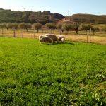 Ensayos en ganadería ecológica